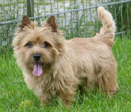 Der Norwich Terrier
